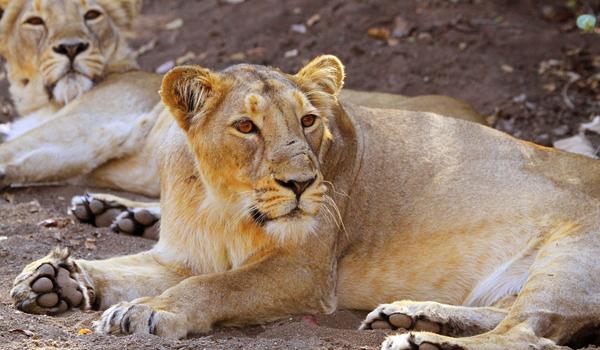 28-asiatic-lion