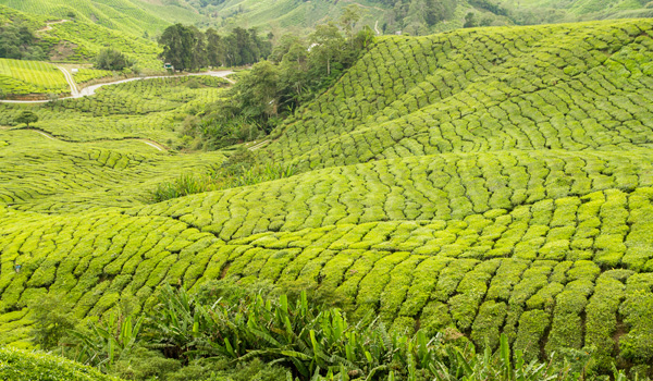 5-teaplantation