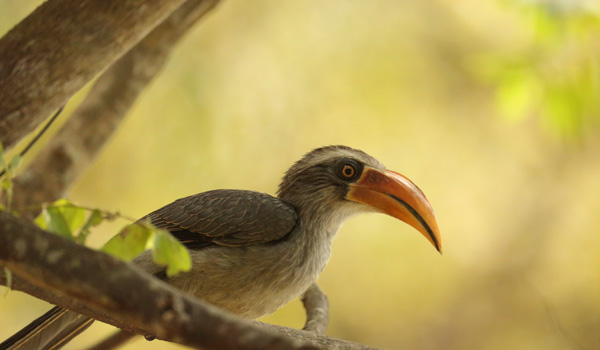 7-malabarhornbill