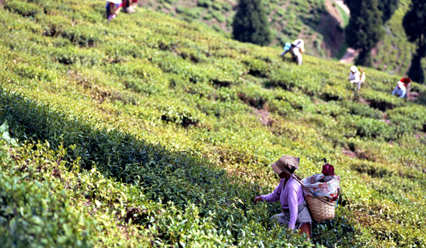 darjeeling-images_tea-pickers_credit-flickr-user-samuel-kimlicka-https___www-flickr