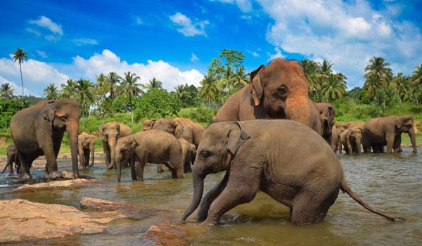 greaves_sri-lanka_elephants_credit-shutterstock-user-surangaweeratunga