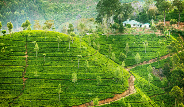 greaves_sri-lanka_hills-with-tea-plants_credit-shutterstock-user-my-good-images