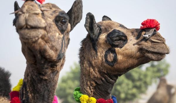 greaves_things_to_see_in_pushkar_pushkar_camel_fair_credit_danielrao-istock-thinkstock