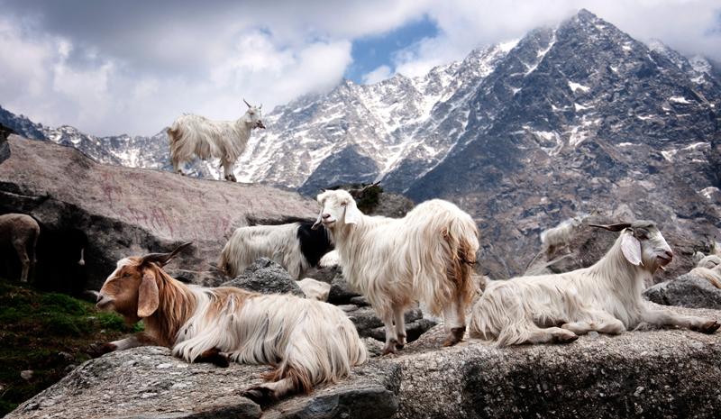Himalayan India | Pashmina Goats