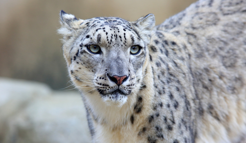 Himalayan India | Snow Leopard