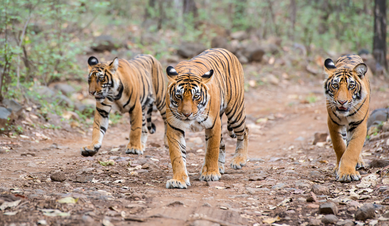 Tiger Reserves in India | Panna