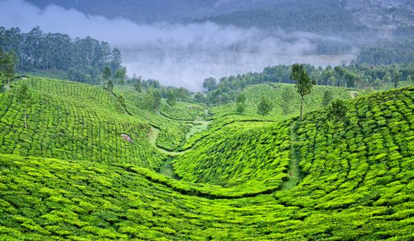 South Indian Coffee | Munnar