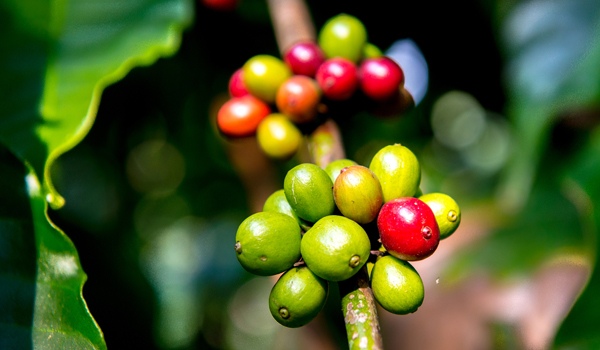 South Indian Coffee | Coffee Beans