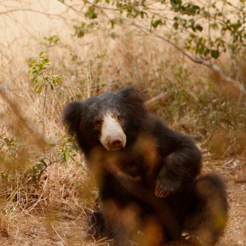 noel-rodrigos-leopard-safaris-bear