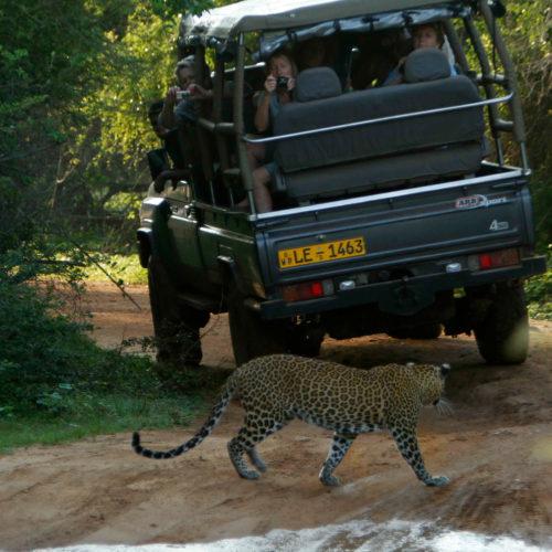 noel-rodrigos-leopard-safaris-jeep-leapord