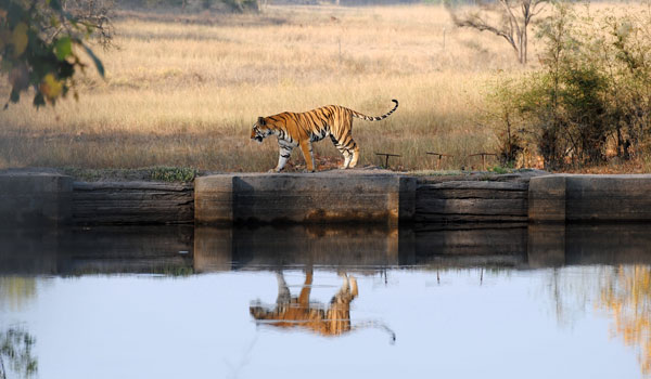 bandhavagarh-tiger-_-peter-hatch_-shutterstock