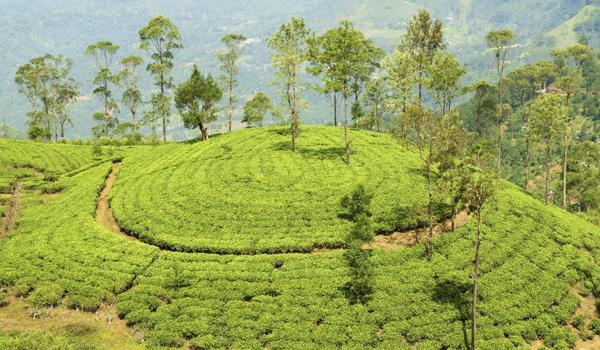 darjeeling-images_tea-plantation-hill_credit-nevarpp_istock_thinkstock-http___www-thinkstockphotos-co
