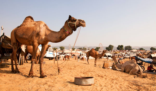 greaves_pushkar-camel-fair_pushkar-camel-fair_credit-istock_thinkstock