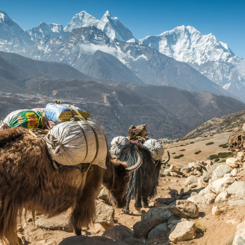 yaks om mountain