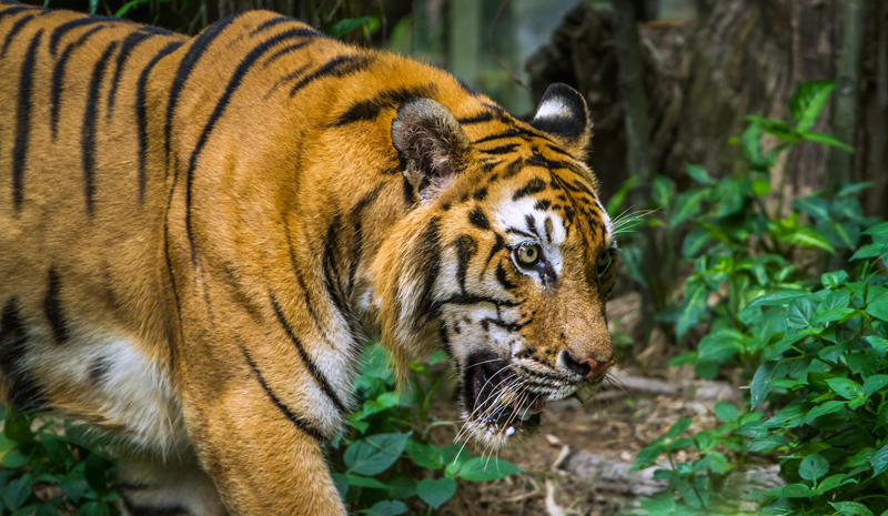 Tiger Reserves in India | Bardia