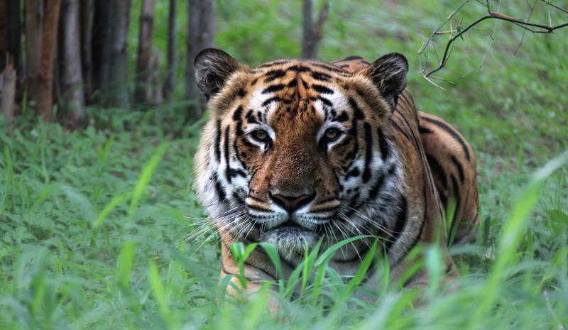 Tiger Reserves in India | Kabini