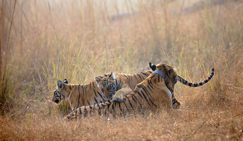 Tiger Reserves in India | Tadoba
