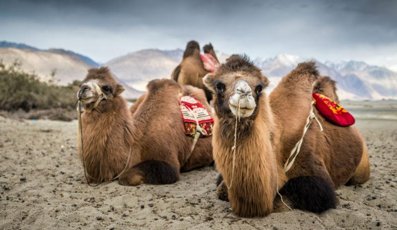 Honeymoon Destinations in India   camels