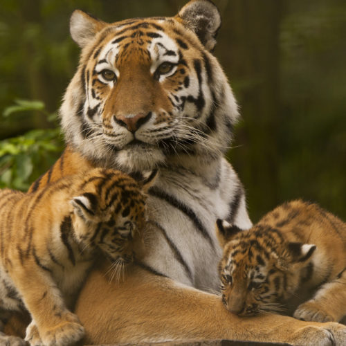Places to see Tigers in India | HERO