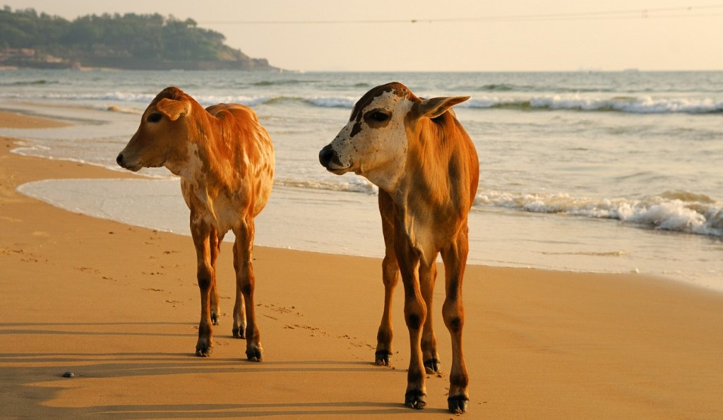 Goa with Children | cows