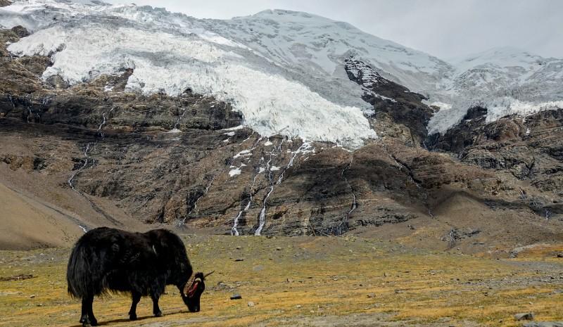 Nepal honeymoon yak mountains