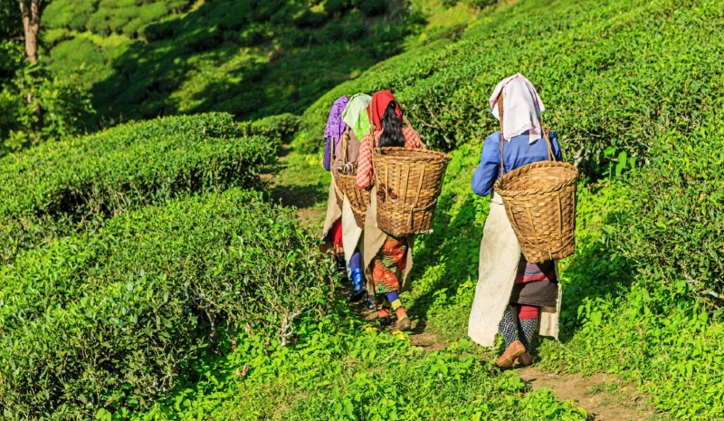 35 Indian Experiences | Tea Pickers
